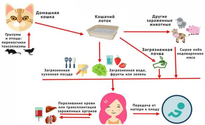 Как можно заразиться токсоплазмозом