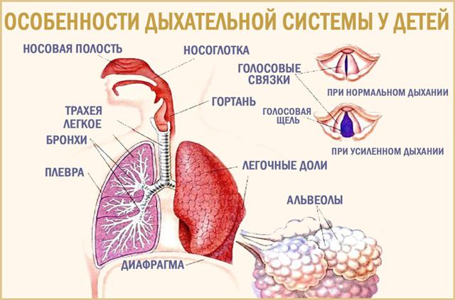 Дыхательная система ребенка
