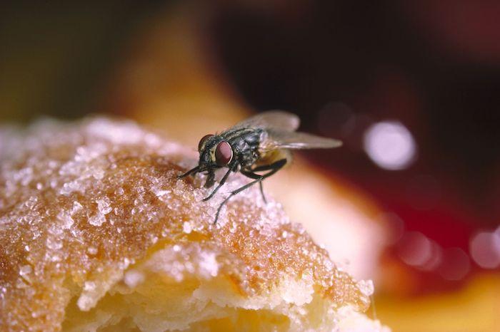 Обычные мухи являются переносчиками полиомиелита