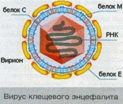 Вирус клещевого энцефалита