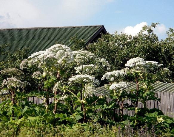 Борщевик Сосновского может расти в населенных пунктах
