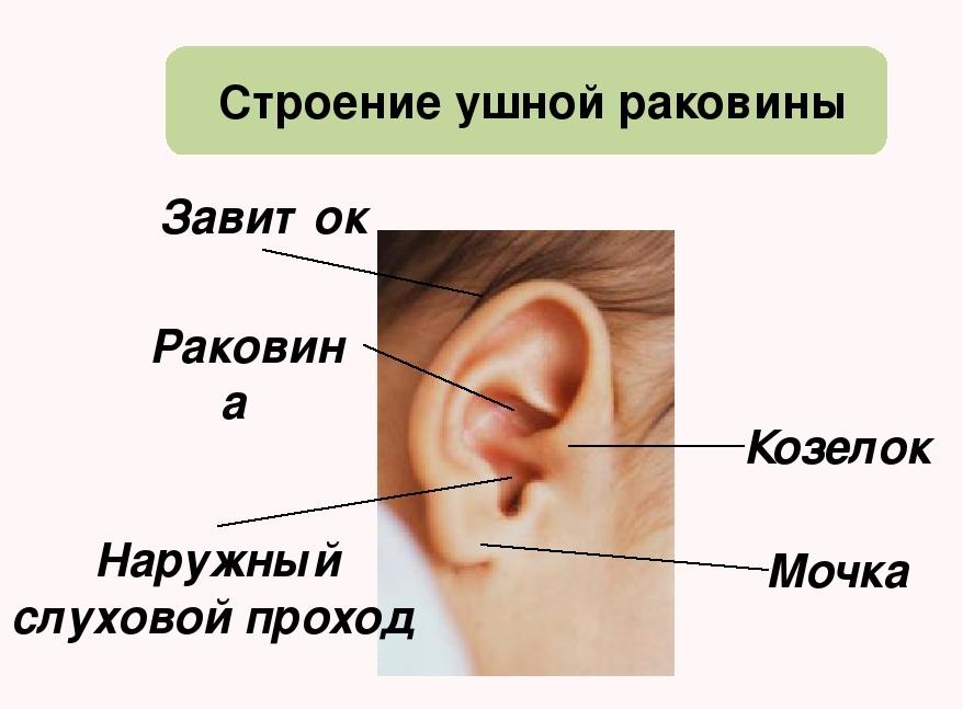 Строение ушной раковины у ребенка